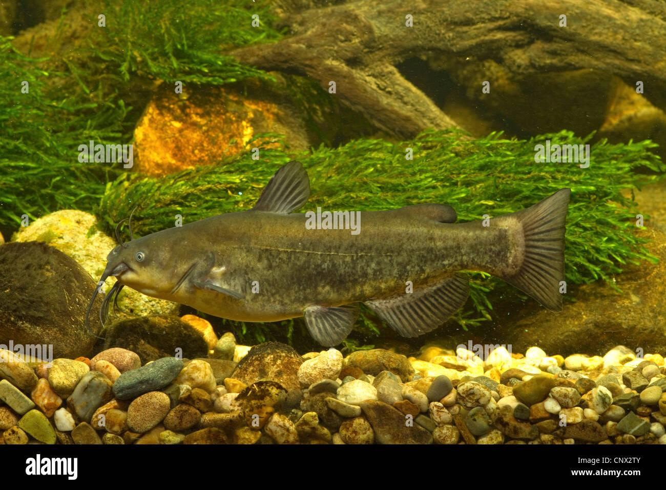 North American freshwater catfish (Ictaluridae), over shingle - Stock Image