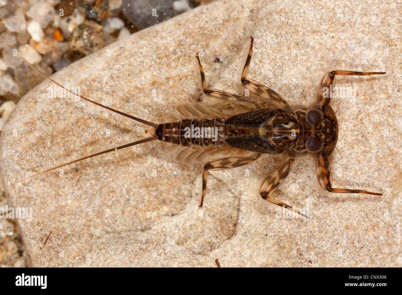 stonefly (Nemoura spec.), larva sitting on a stone, Germany, Bavaria - Stock Image