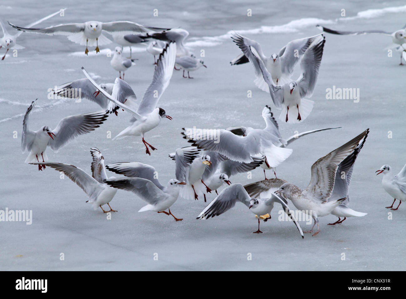 black-headed gull (Larus ridibundus), flock fight over food on frozen lake surface, Germany, Bavaria, Chiemsee - Stock Image