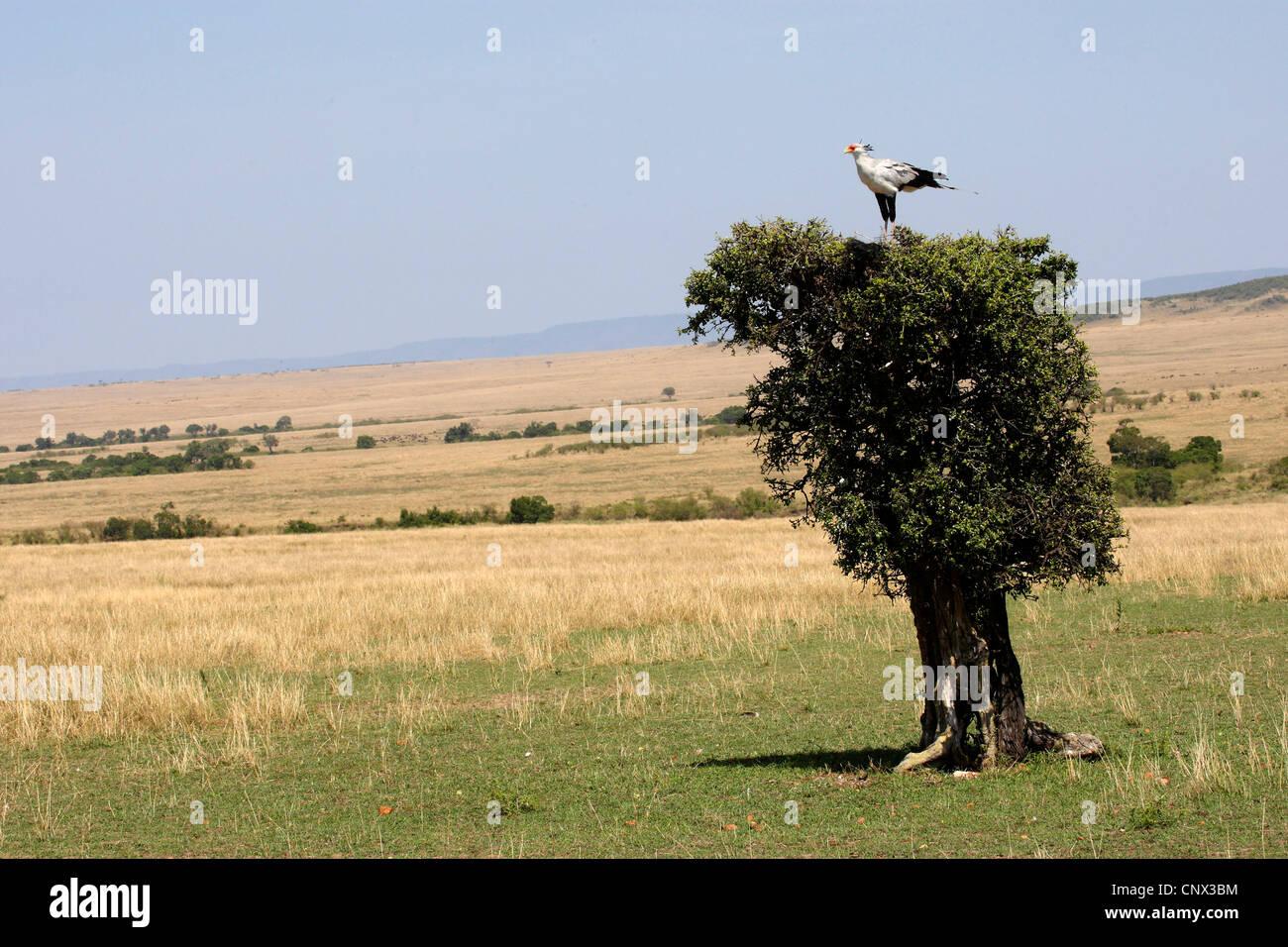 secretary bird, Sagittarius serpentarius (Sagittarius serpentarius), sitting on top of a single tree in the savannah, - Stock Image