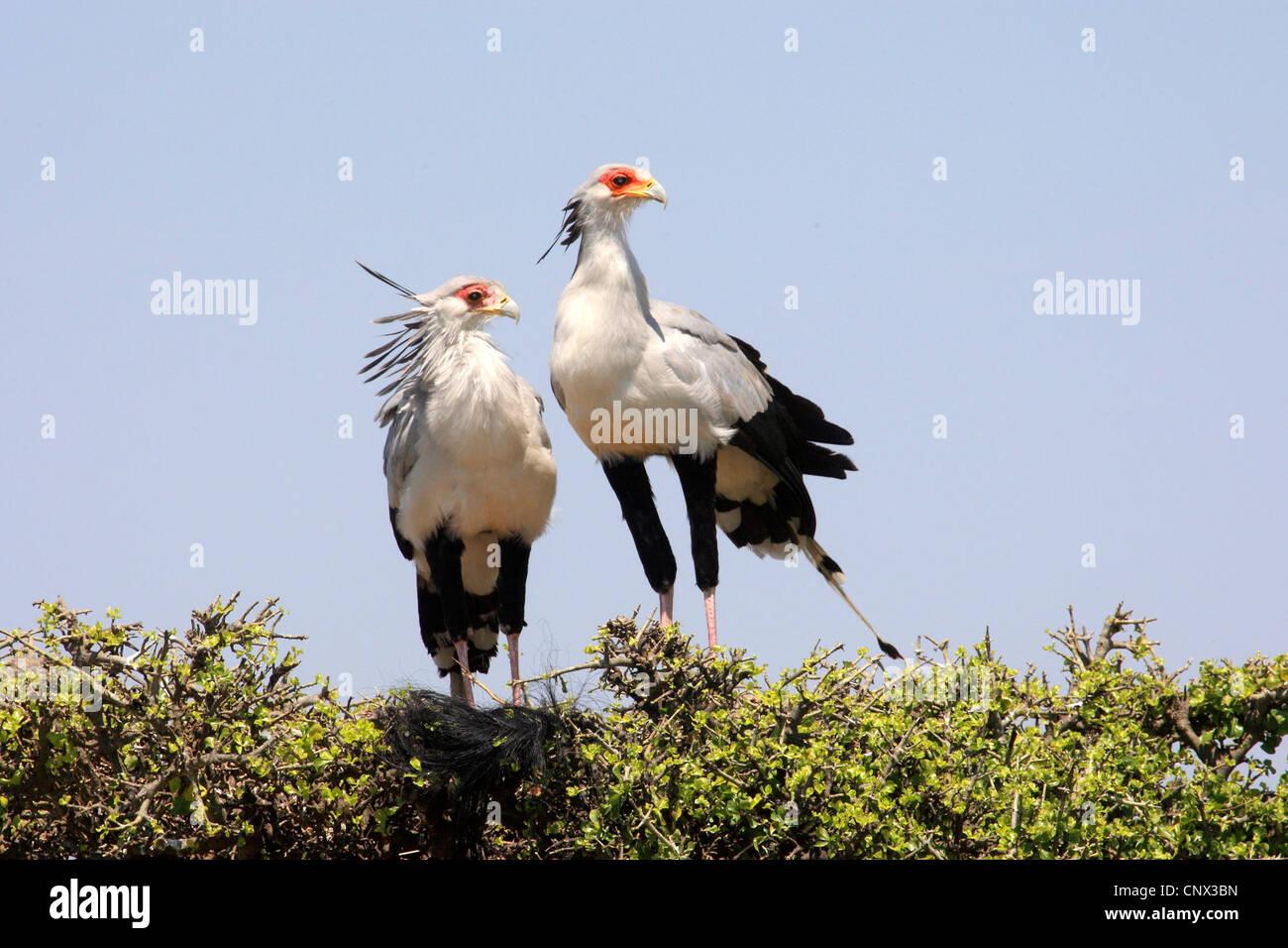 secretary bird, Sagittarius serpentarius (Sagittarius serpentarius), two birds sitting side by side on a tree top, - Stock Image