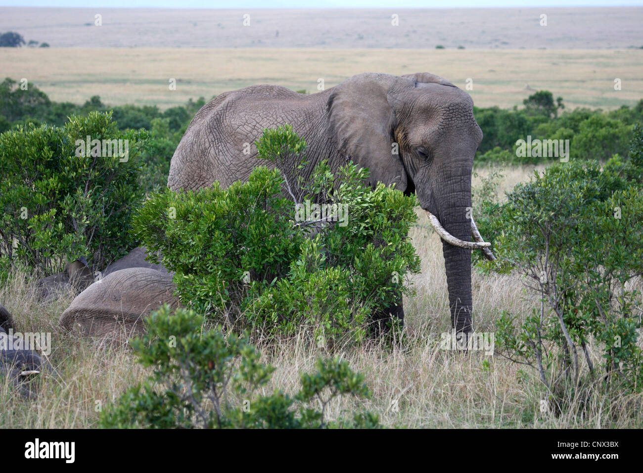 African elephant (Loxodonta africana), herd between bushes in the savannah, Kenya, Masai Mara National Park Stock Photo