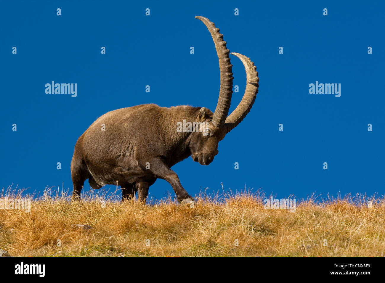 alpine ibex (Capra ibex), mighty male walking over a grass-grown hill ridge in front of a clear blue sky, Switzerland, Stock Photo