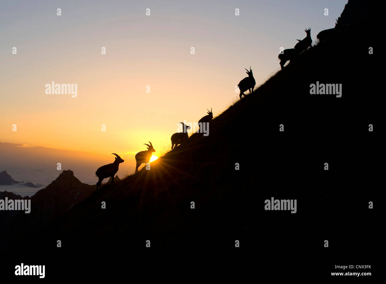 alpine ibex (Capra ibex), silhouettes of a pack on a mountain ridge in front of the sunset, Switzerland, Sankt Gallen, - Stock Image
