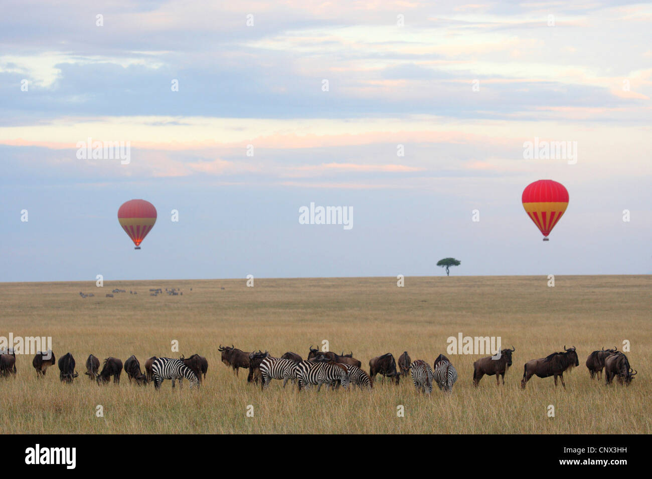 Balloon safari in the Masai Mara with zebras and wildbeests, Kenya, Masai Mara National Park - Stock Image