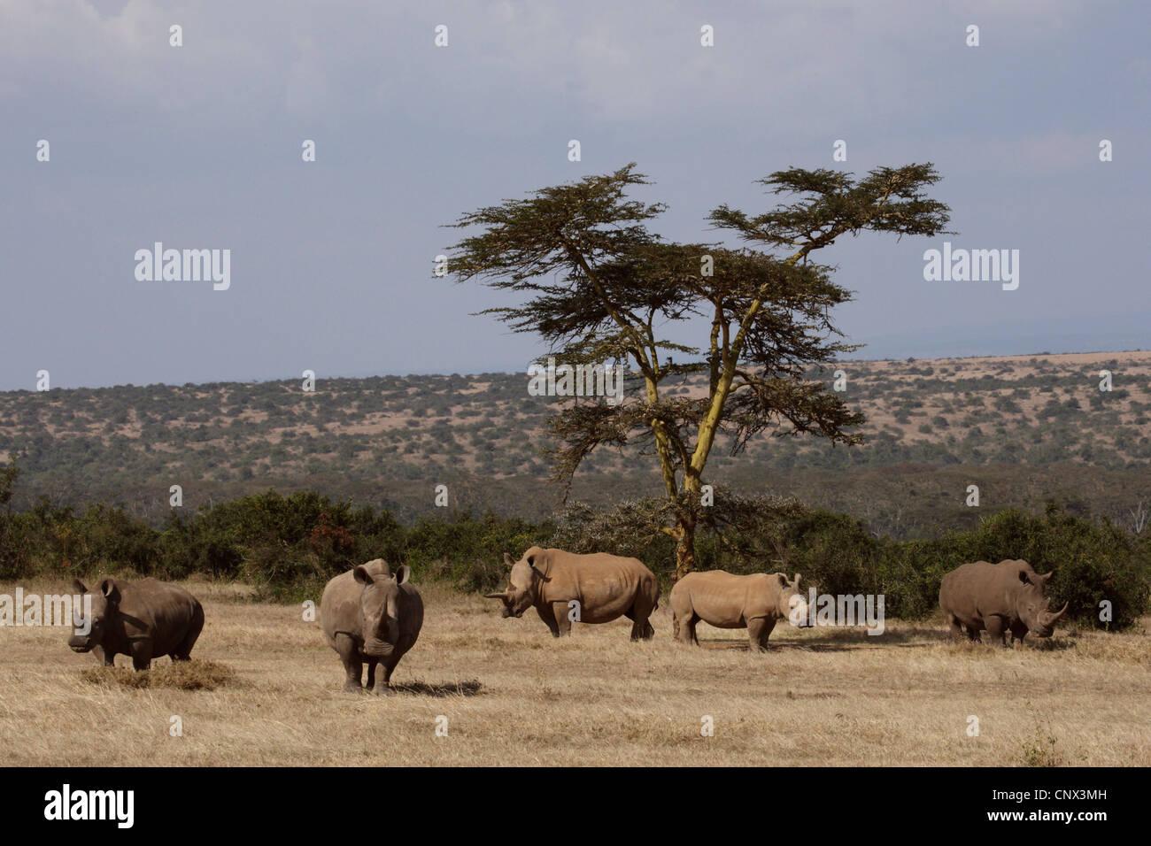 white rhinoceros, square-lipped rhinoceros, grass rhinoceros (Ceratotherium simum), herd in the savannah, Kenya Stock Photo