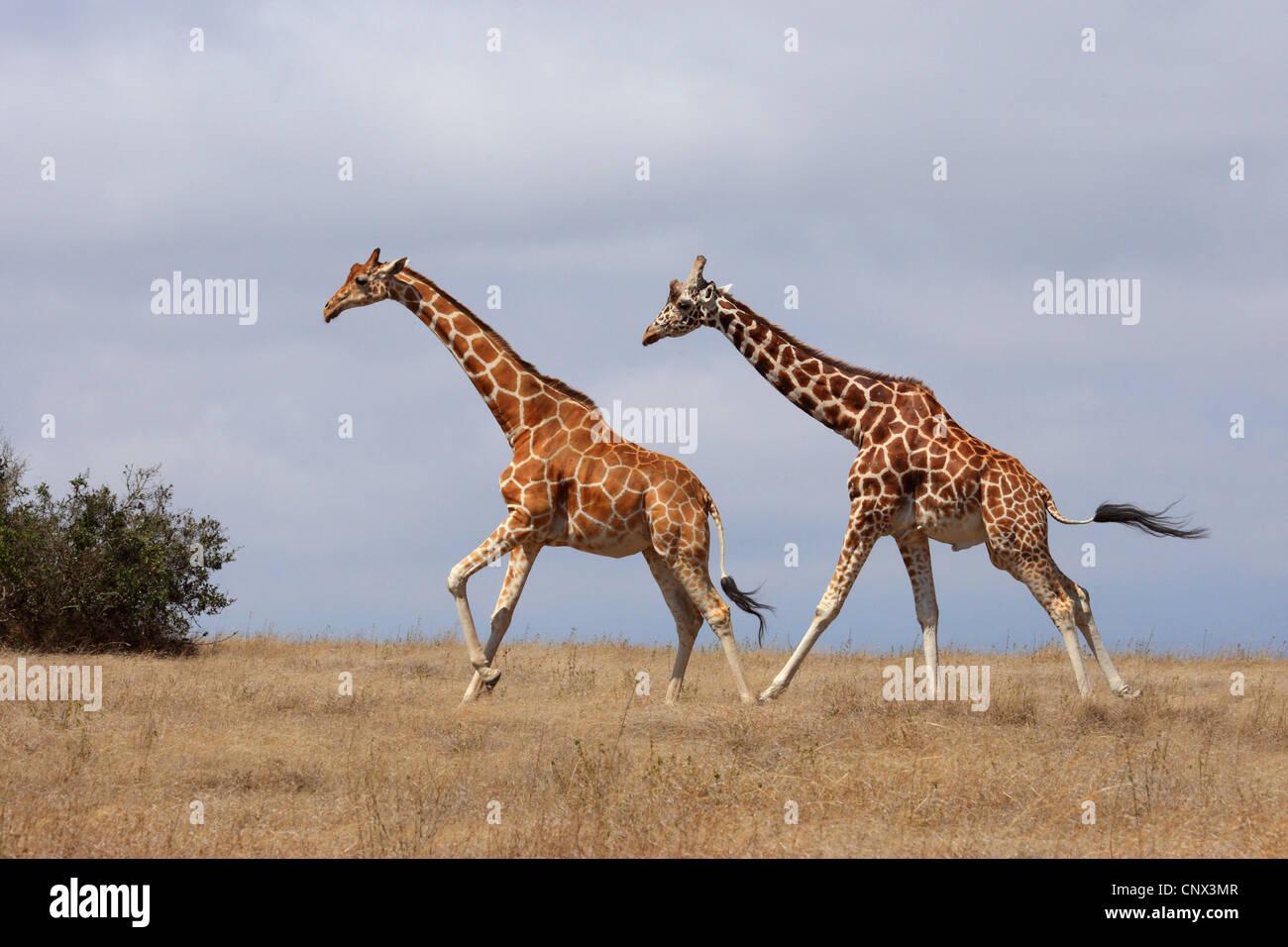 reticulated giraffe (Giraffa camelopardalis reticulata), two giraffes running across the savanna, Kenya, Sweetwater - Stock Image