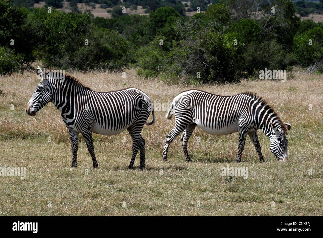 Grevy's zebra (Equus grevyi), grazing, Kenya, Sweetwaters Game Reserve Stock Photo