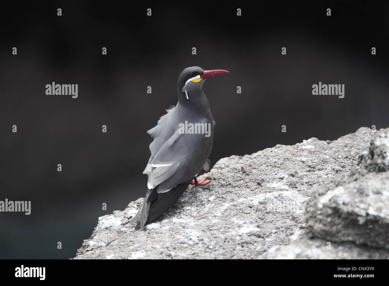 Inca Tern, larosterna inca Stock Photo