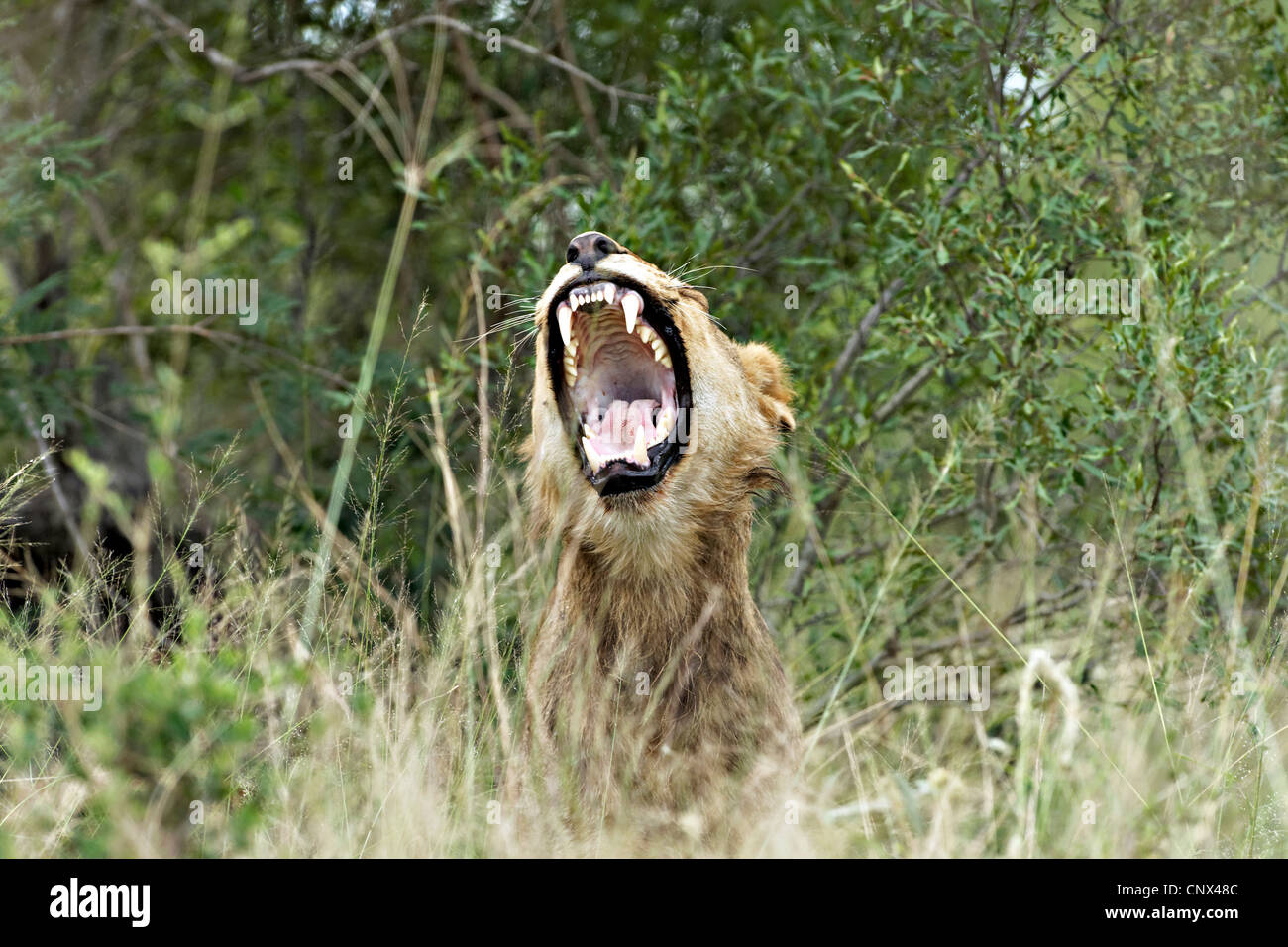 African Lioness ( Panthera leo ) in long grass, Kruger National Park, South Africa - Stock Image