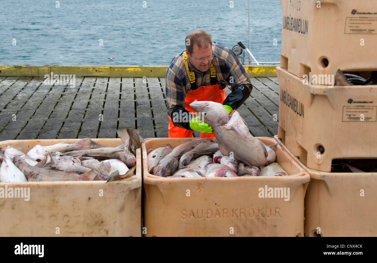 fisher with caught fishes in Grindavik harbour, Iceland, Grindavik - Stock Image