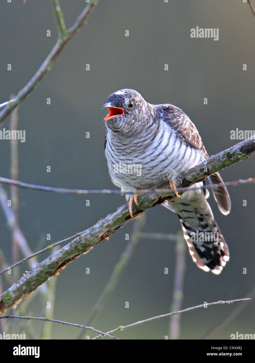 Eurasian cuckoo (Cuculus canorus), squeeker sitting on a branch calling, Netherlands, Flevoland - Stock Image