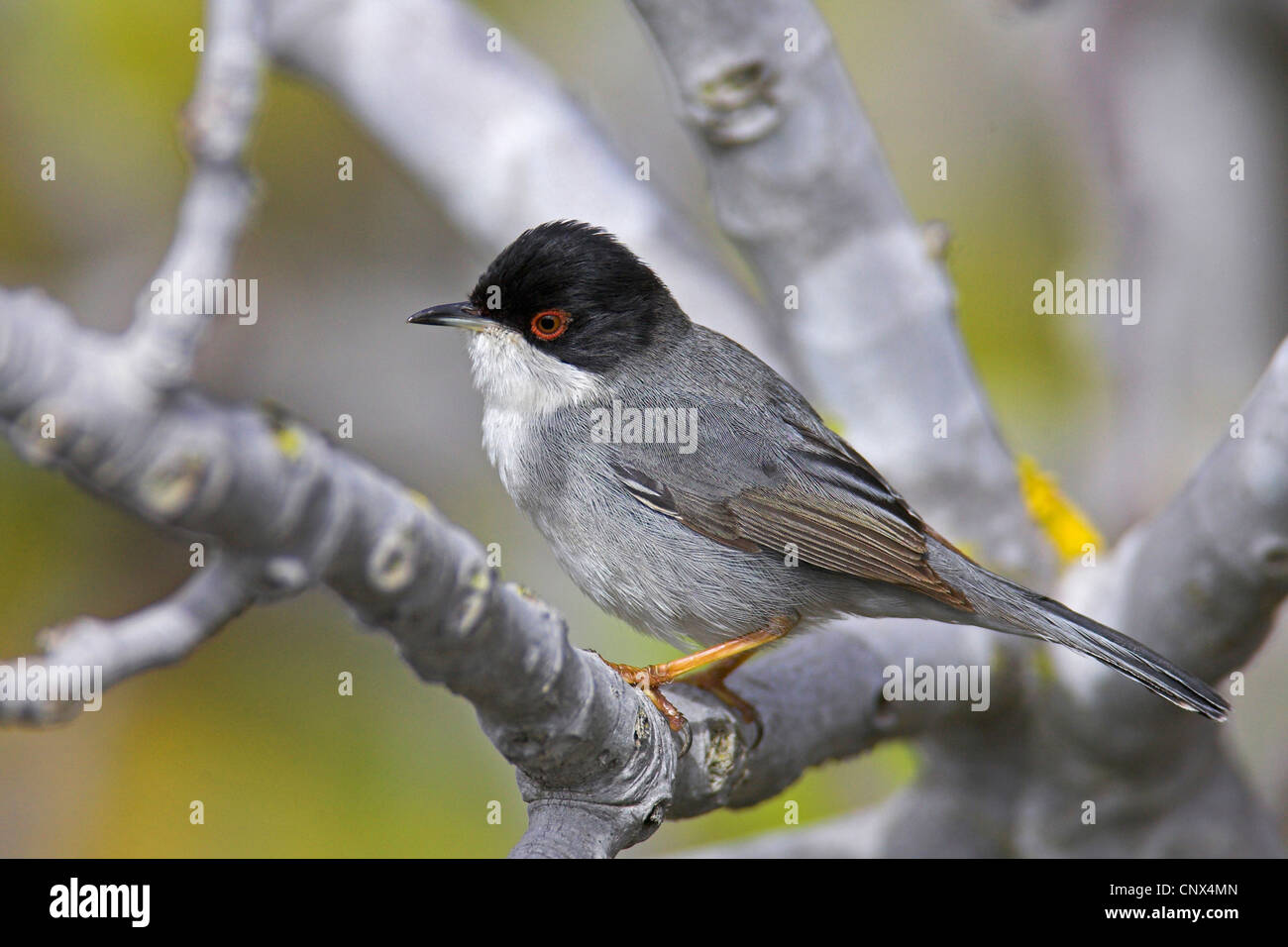 sardinian warbler (Sylvia melanocephala), male sitting on a branch, Canary Islands, Fuerteventura - Stock Image