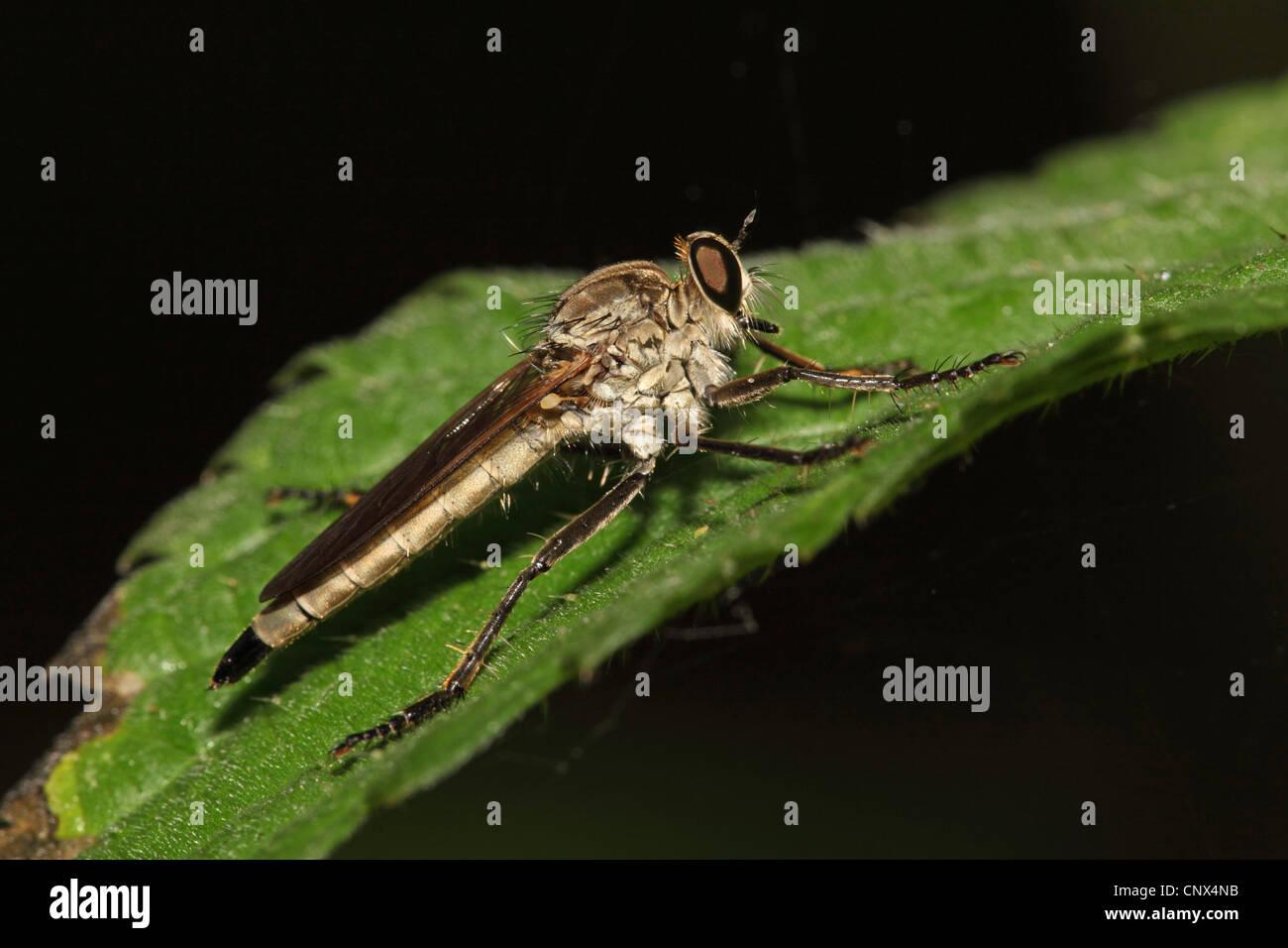 common awl robberfly (Neoitamus cyanurus), sitting on stinging nettle, Greece, Kerkini-See - Stock Image