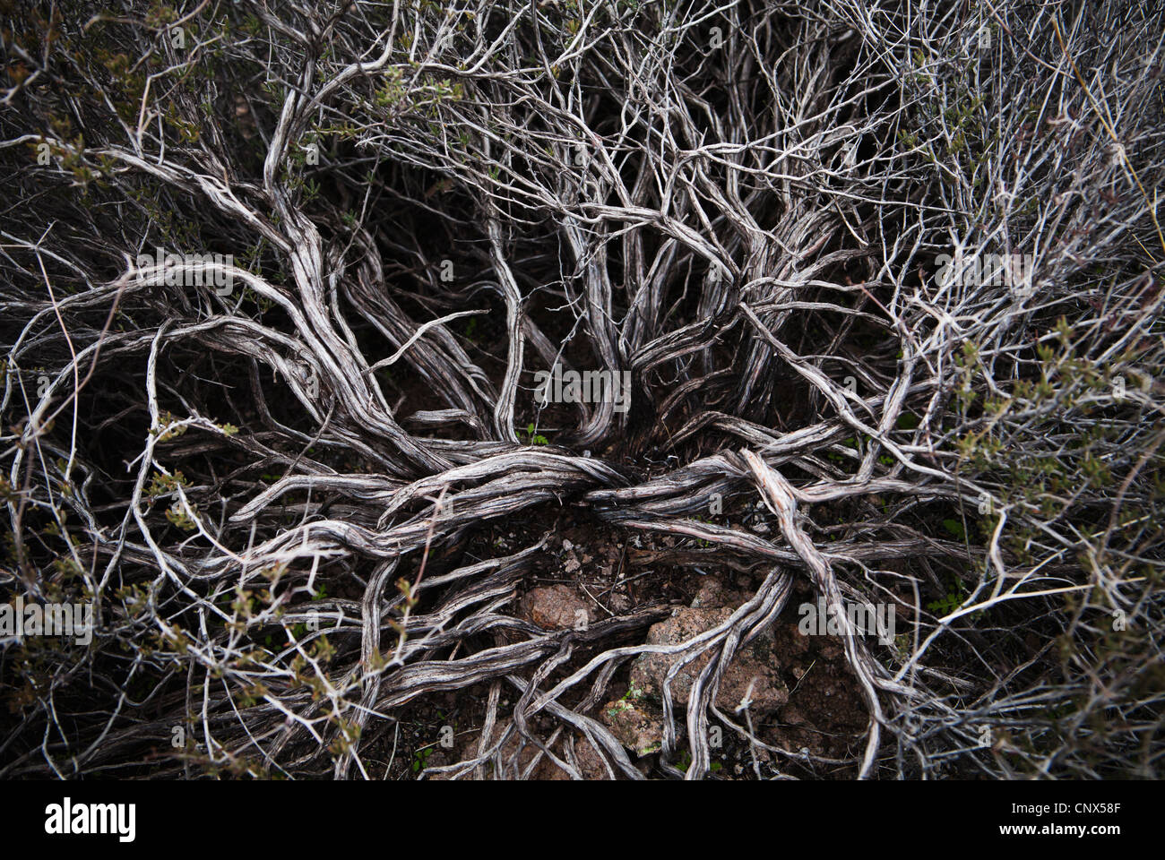 Closeup of the branches of a desert shrub, Superstition Mountains, Arizona, USA. - Stock Image