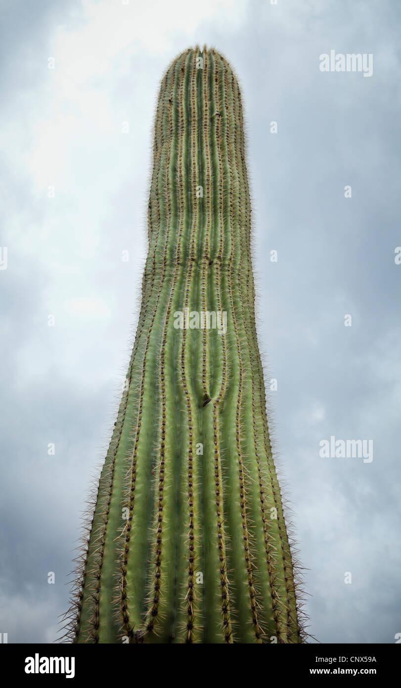 A Saguaro cactus against a cloudy sky, Arizona. - Stock Image