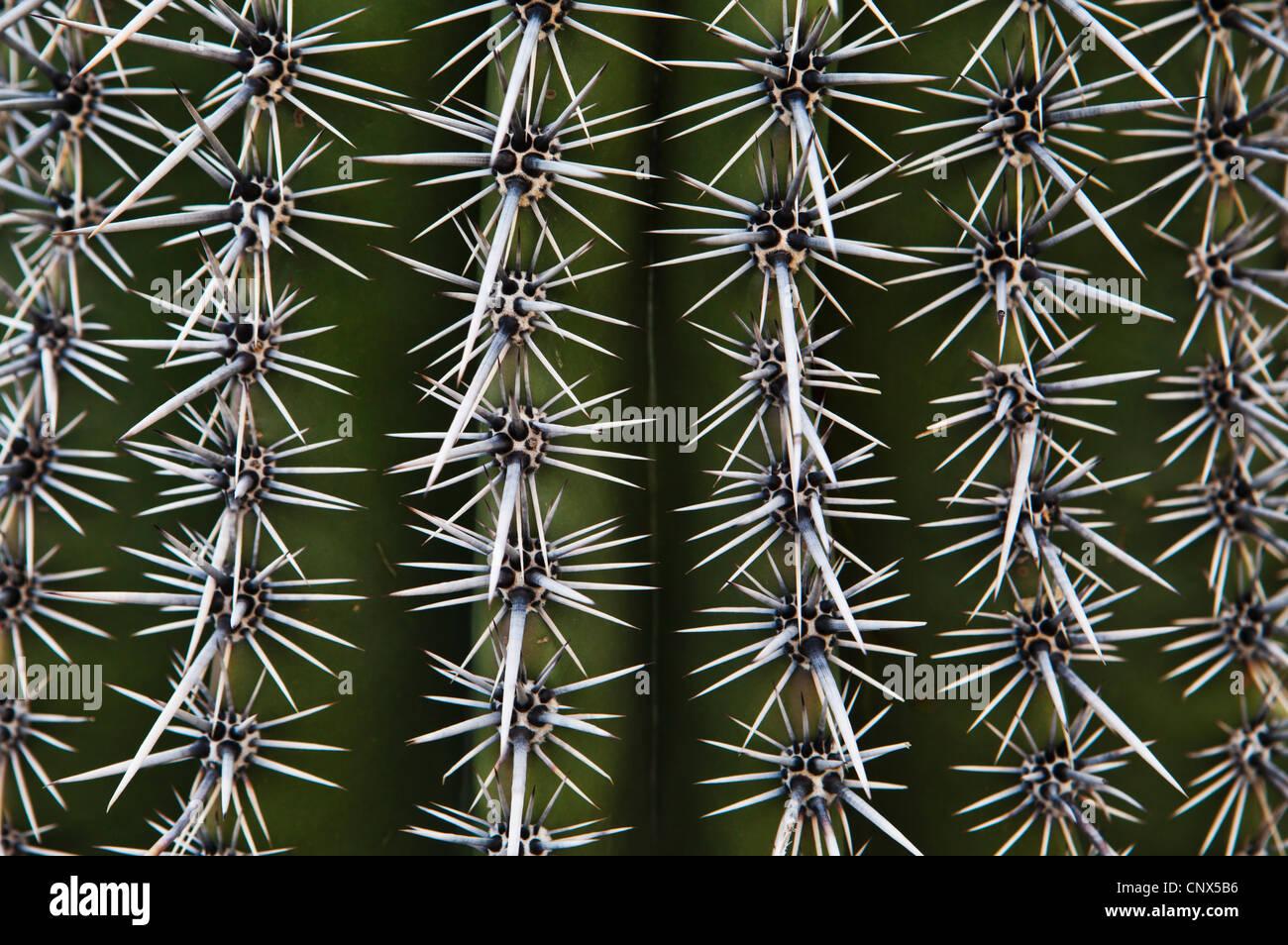 A Saguaro cactus closeup. - Stock Image