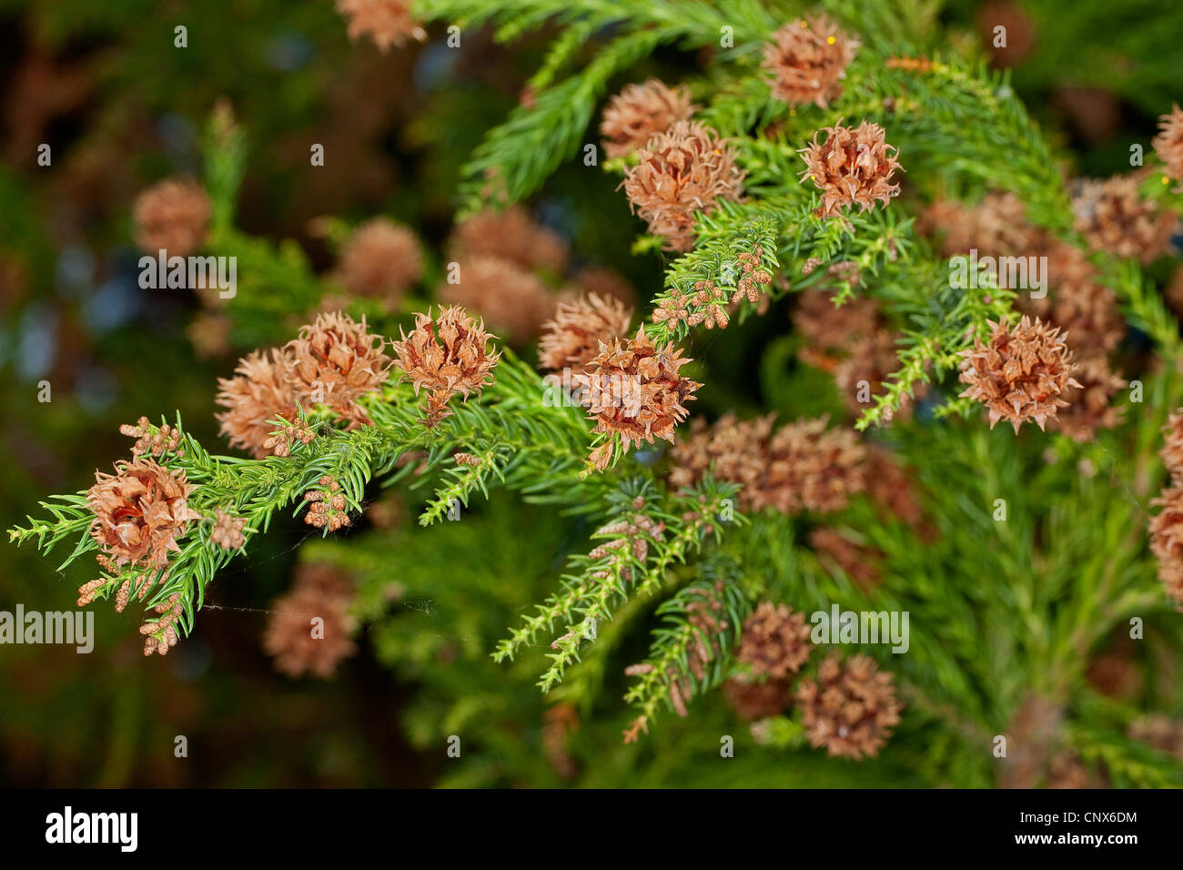 Japanese Cedar Cryptomeria Japonica Branch With Cones Stock