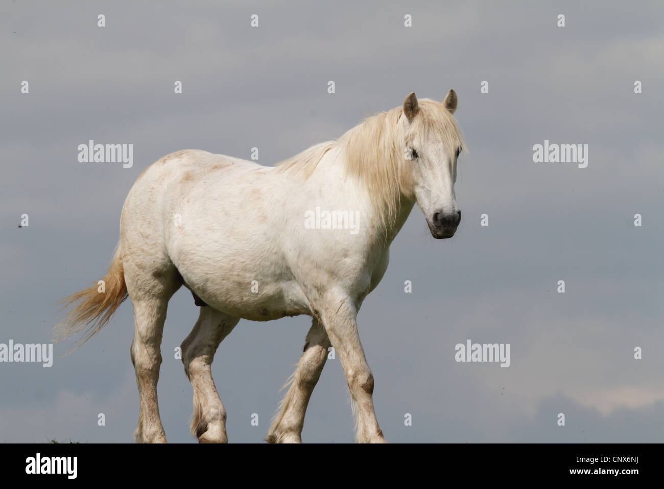 white horse on grass with blue sky - Stock Image
