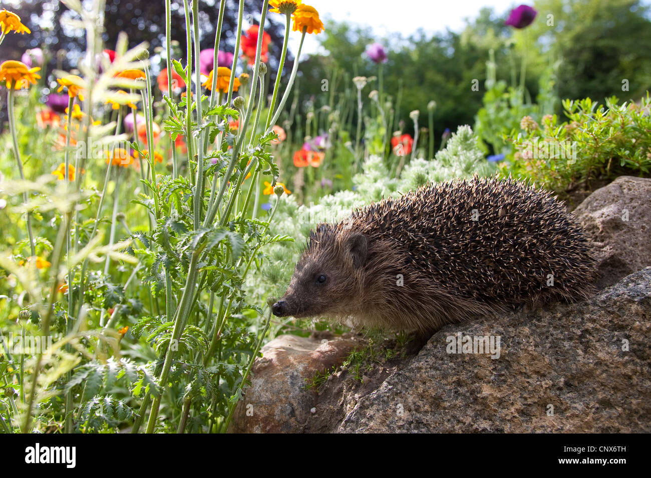 Western hedgehog, European hedgehog (Erinaceus europaeus), in the garden, Germany Stock Photo