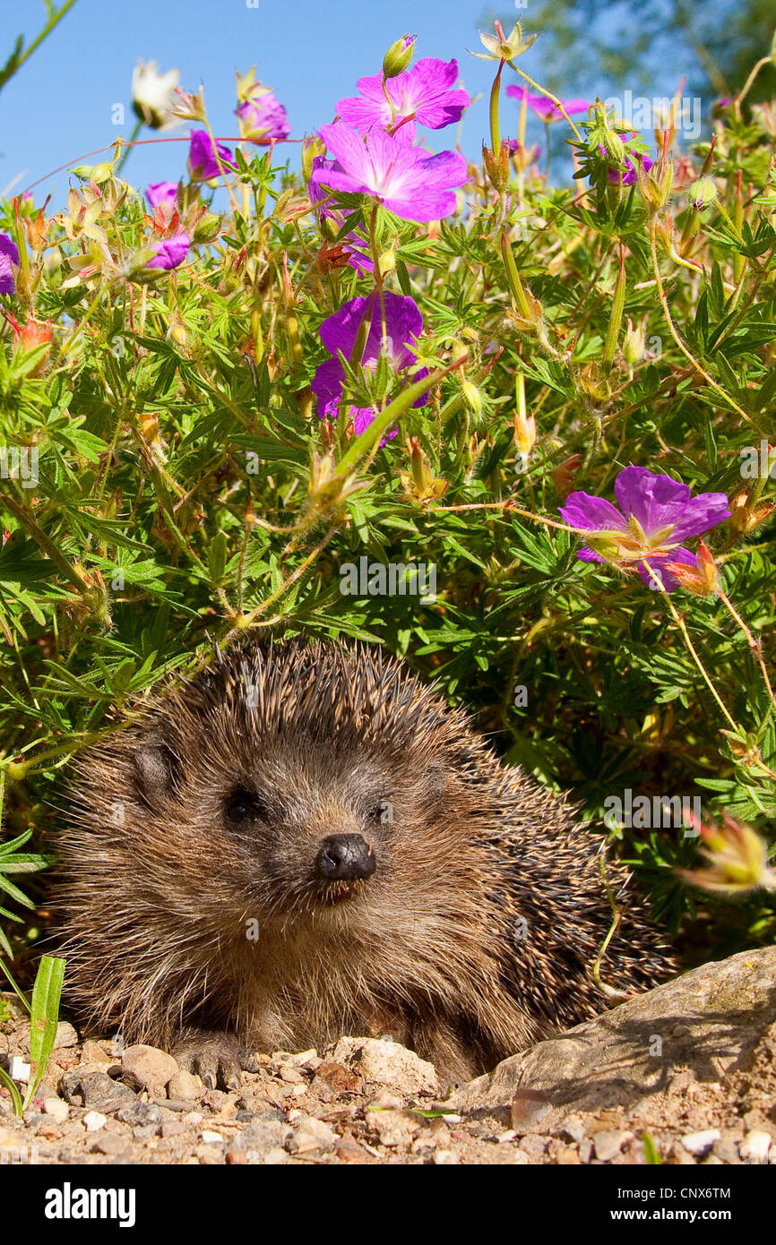 Western hedgehog, European hedgehog (Erinaceus europaeus), in flowerbed, Germany - Stock Image
