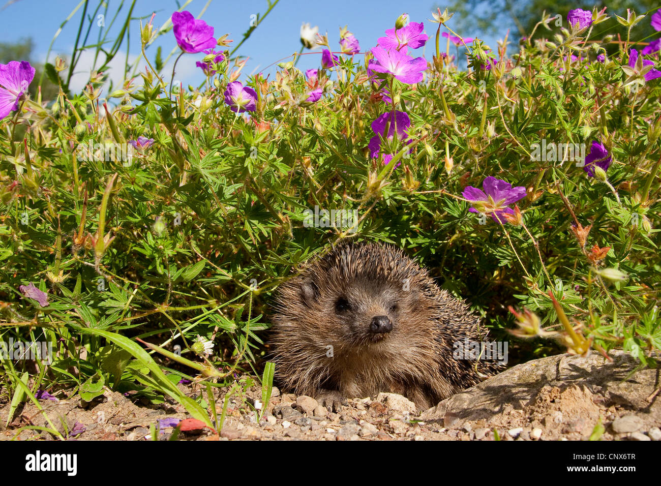 Western hedgehog, European hedgehog (Erinaceus europaeus), in flowerbed, Germany - Stock Image