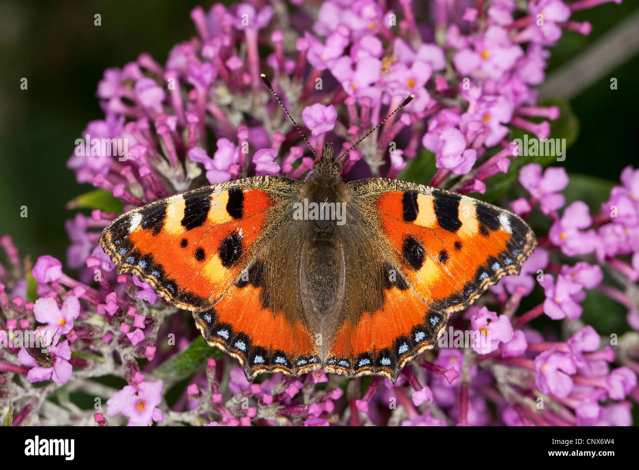 small tortoiseshell (Aglais urticae), sitting on violet butterfly bush, Germany - Stock Image