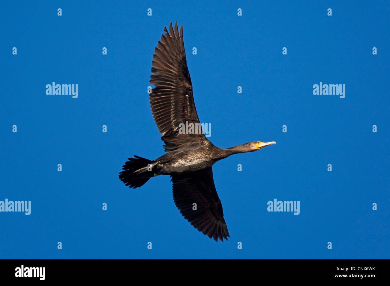 great cormorant (Phalacrocorax carbo), flying, Germany - Stock Image