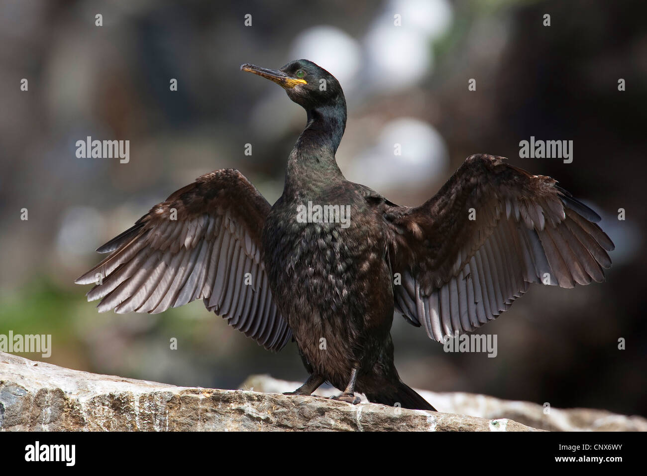 shag (Phalacrocorax aristotelis), drying its wings, Germany - Stock Image