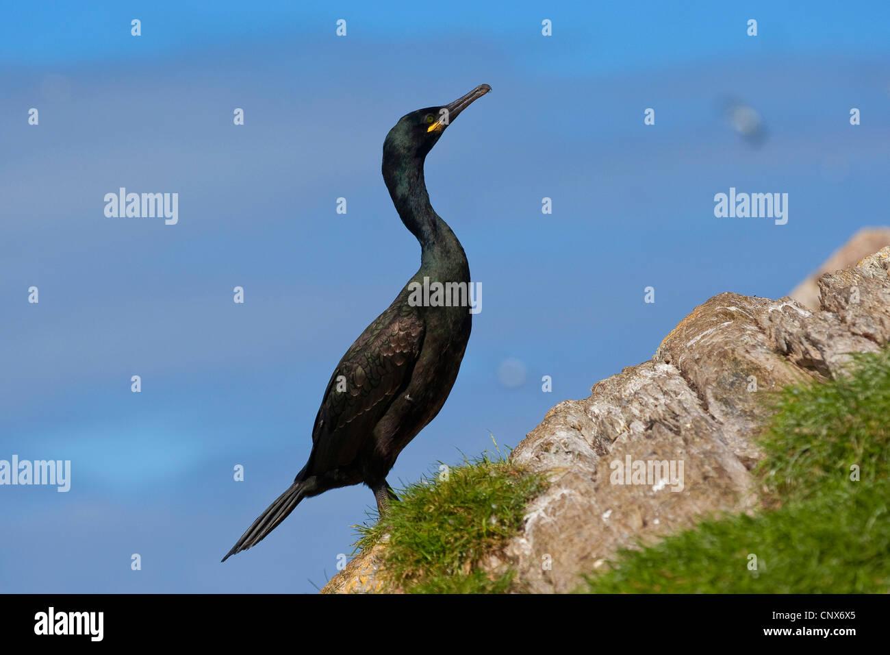 shag (Phalacrocorax aristotelis), sitting on a coastal rock, Germany - Stock Image