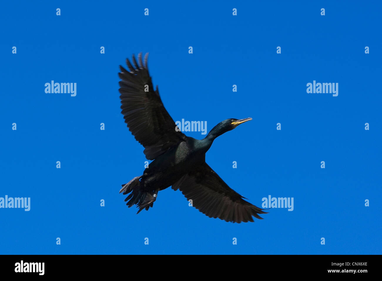 shag (Phalacrocorax aristotelis), flying, Germany - Stock Image