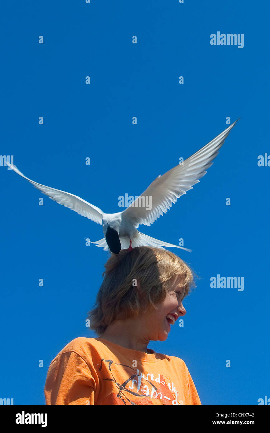 arctic tern (Sterna paradisaea), attacking child, landed on its head, Germany - Stock Image