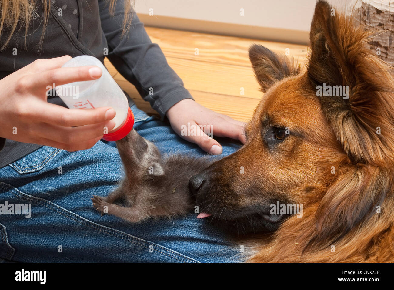 common raccoon (Procyon lotor), pup rearing by human, dog licking it, Germany - Stock Image