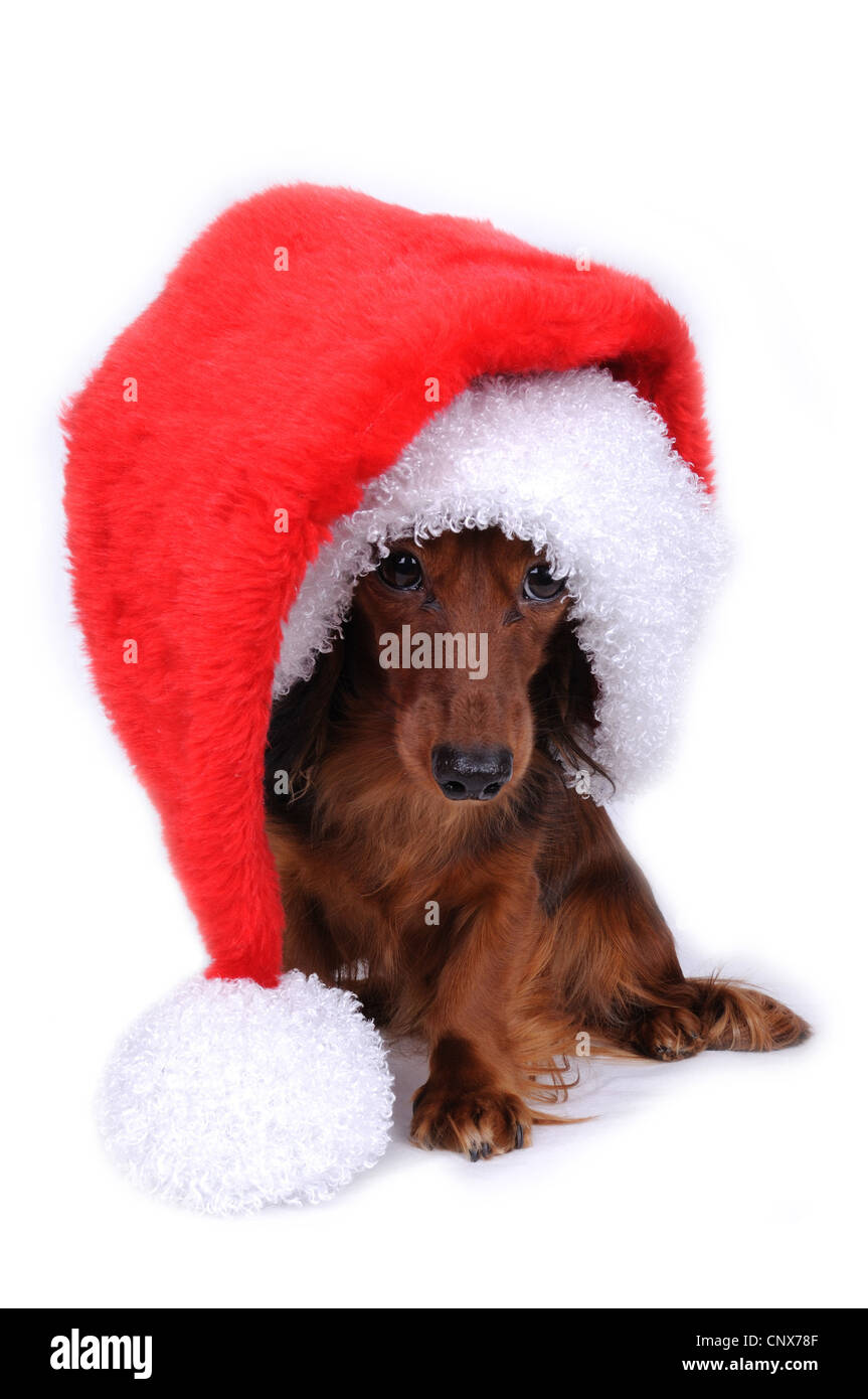 Long-haired Dachshund, Long-haired sausage dog, domestic dog (Canis lupus f. familiaris), with red Santa hat Stock Photo