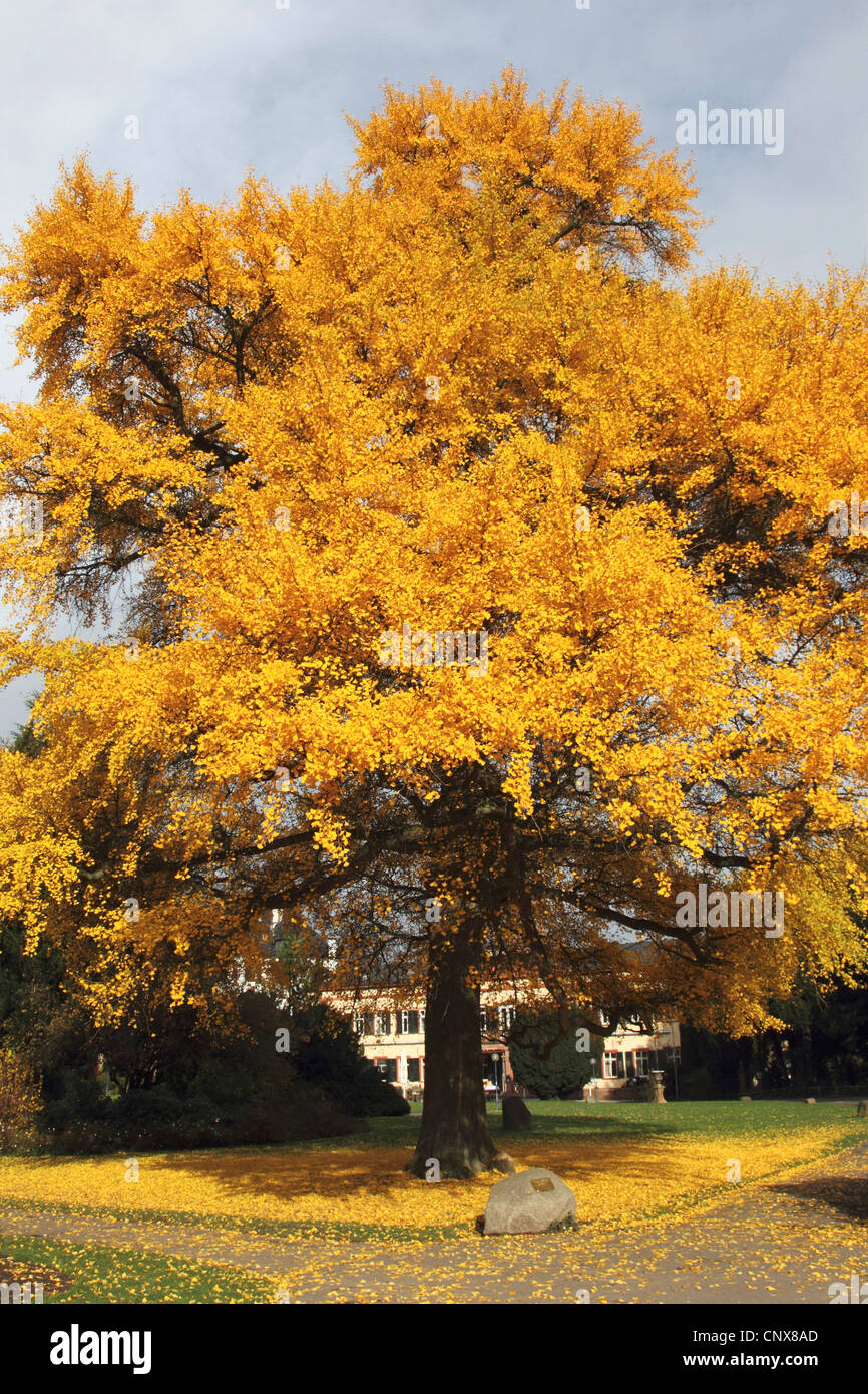 maidenhair tree, Ginkgo Tree, Gingko Tree, Ginko Tree (Ginkgo biloba), in autumn - Stock Image