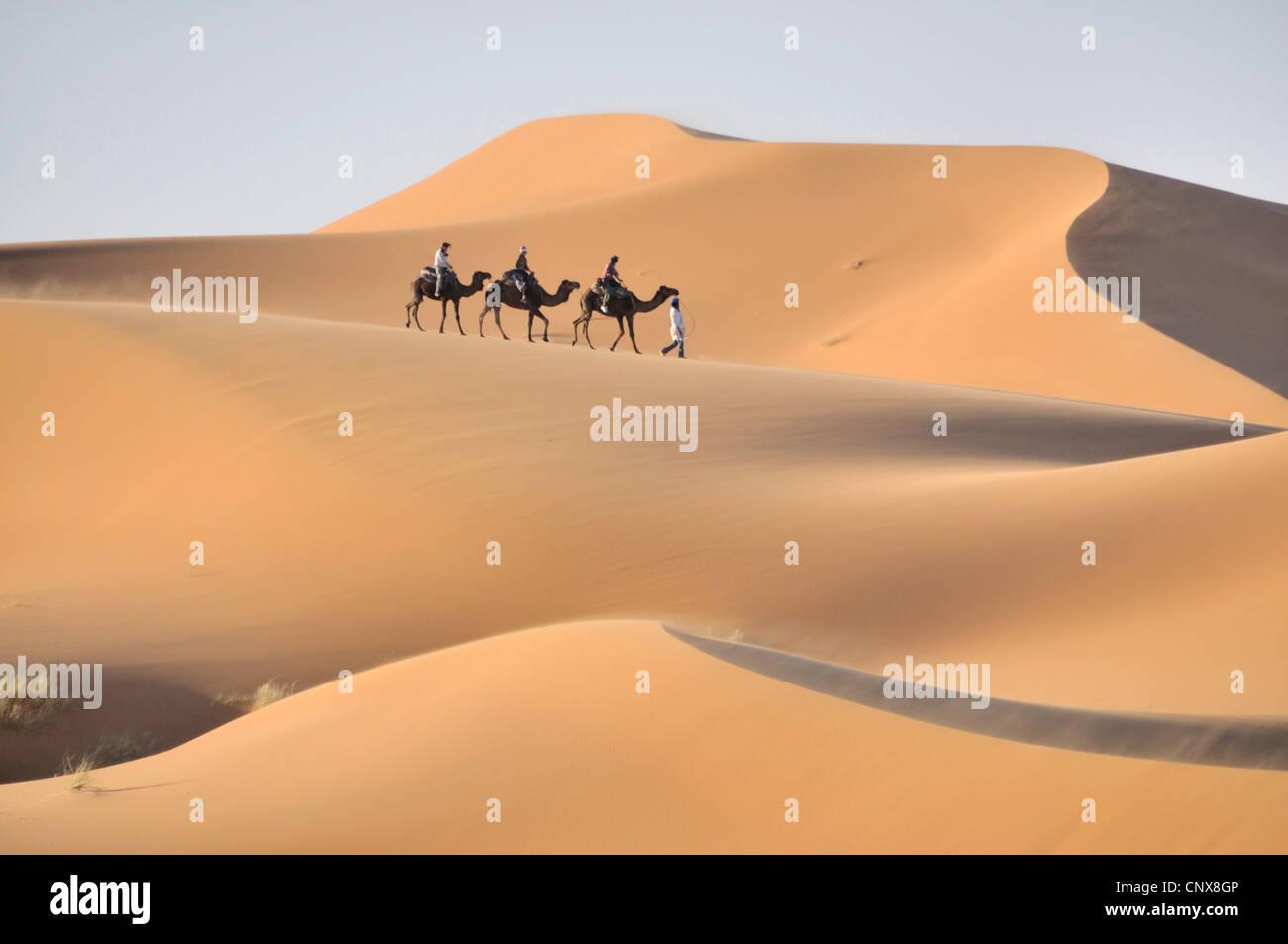 dromedary, one-humped camel (Camelus dromedarius), caravan in Erg Chebbi, Morocco, Maghreb Stock Photo