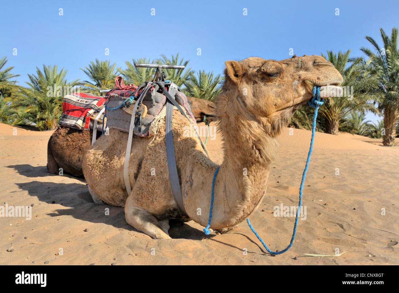 Camel dating