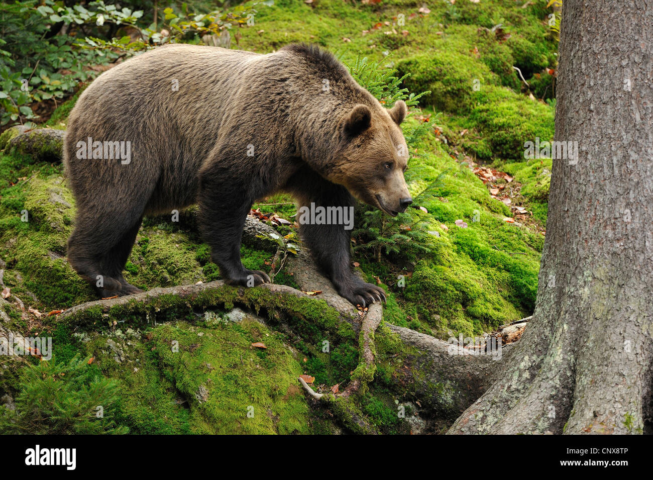 brown bear (Ursus arctos), on a tree root, Germany, Bavaria, Bavarian Forest National Park - Stock Image