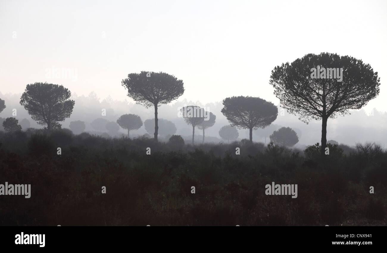 umbrella pine (Pinus pinea), umbrella pines in mornig mist, Spain, Coto De Donana National Park, Acebron - Stock Image