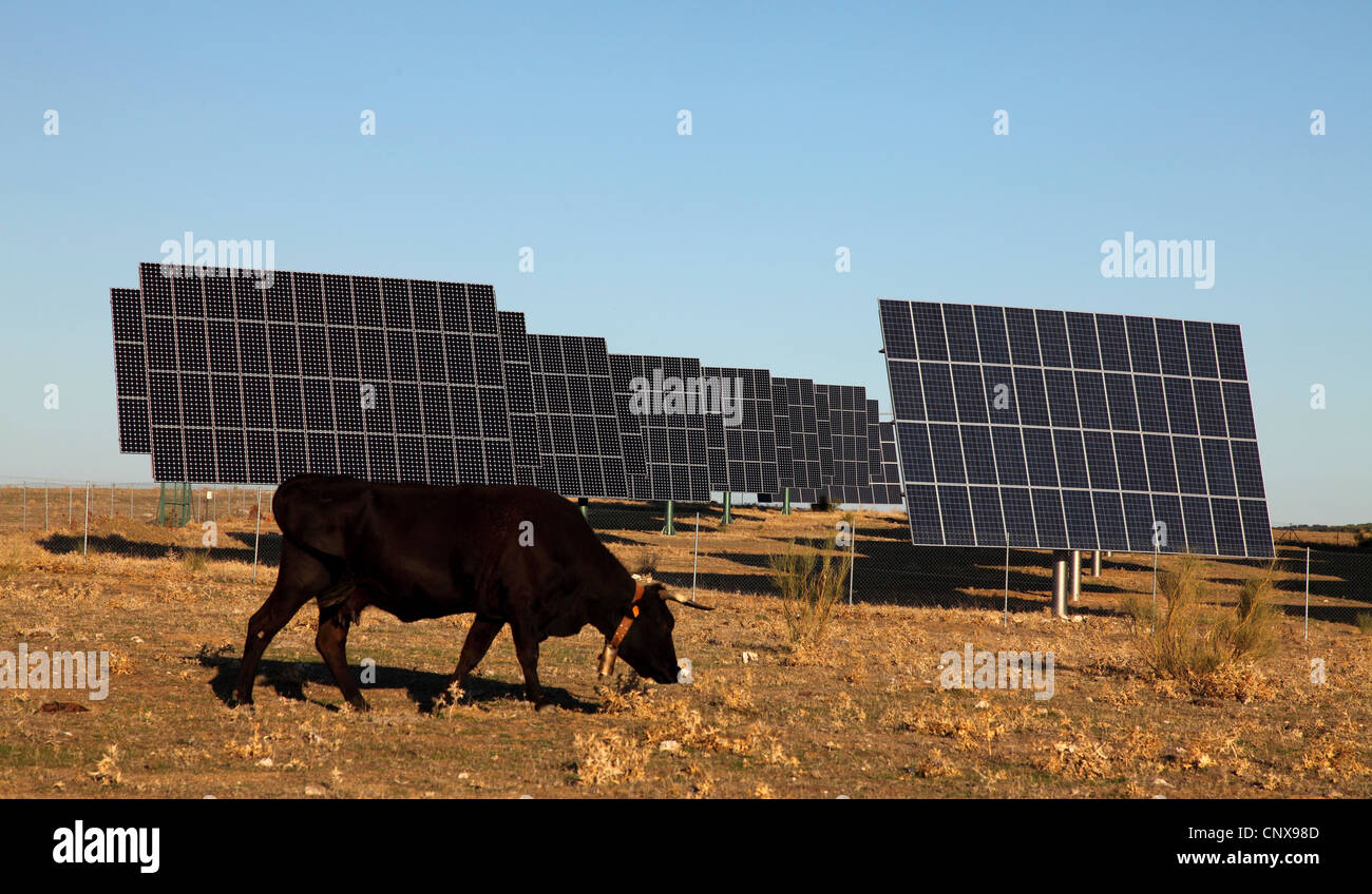 domestic cattle (Bos primigenius f. taurus), black cow grazing at a solar thermal collector, Spain, Extremadura, - Stock Image