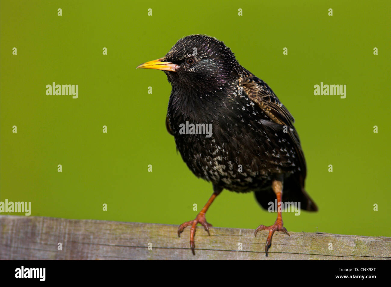 common starling (Sturnus vulgaris), sitting on a wooden fence, Netherlands, Texel Stock Photo
