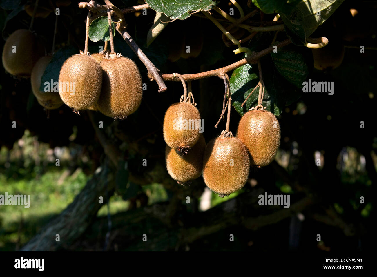 kiwi fruit, Chinese gooseberry (Actinidia deliciosa), kiwi fruits on a branch, Greece - Stock Image