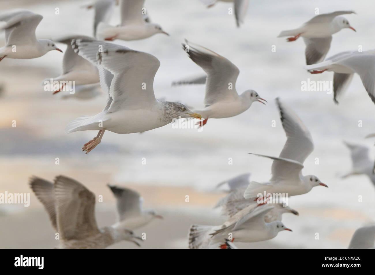 gulls (Larinae), flying flock of gulls, Germany, Baltic Sea - Stock Image