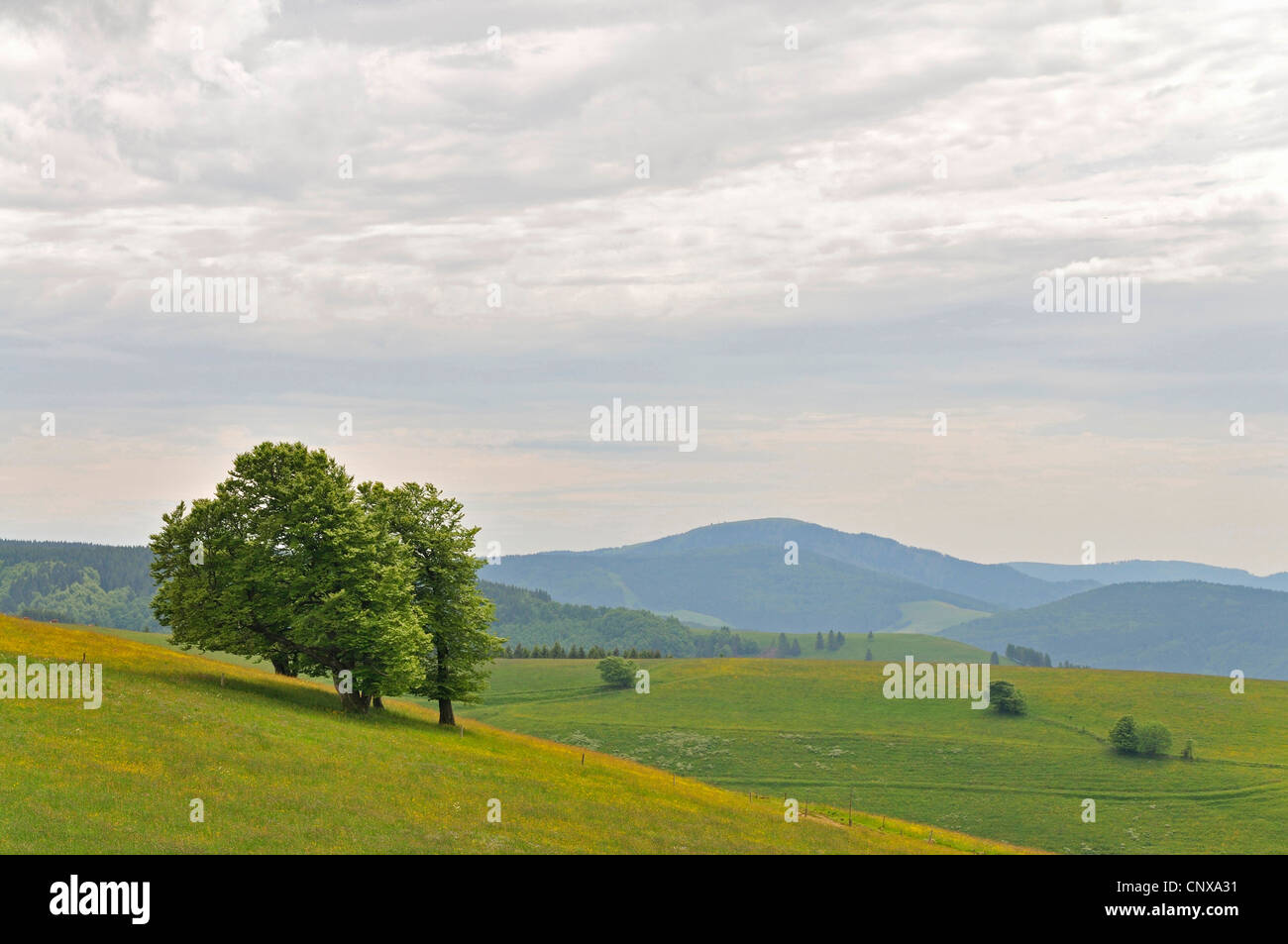 woody plant in meadow, Germany, Baden-Wuerttemberg, Black Forest - Stock Image
