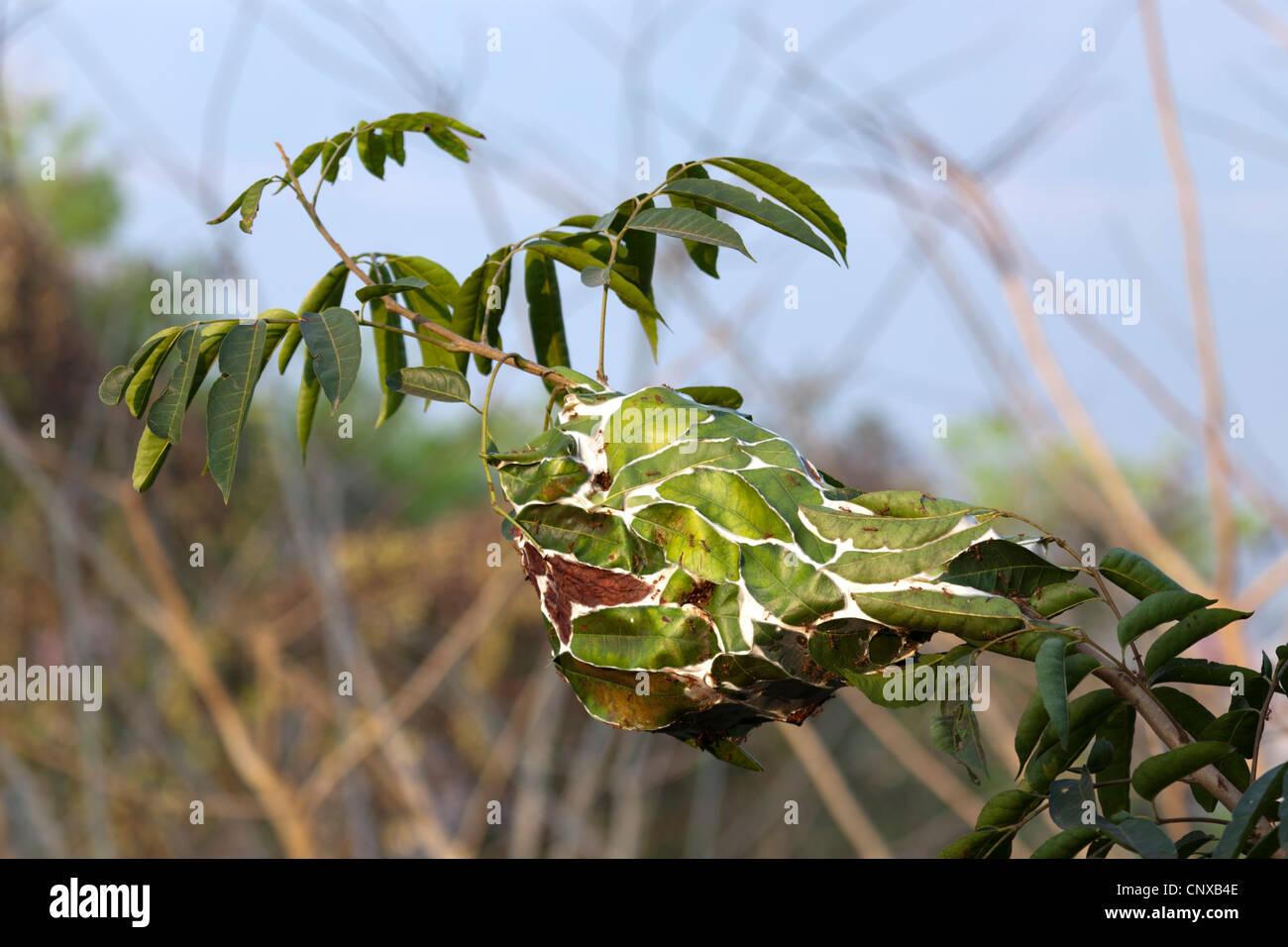 Aerial nest of red Asian weaver Ants (Oecophylla Smaragdina). Nid aérien de fourmis tisserandes rouges d'Asie - Stock Image