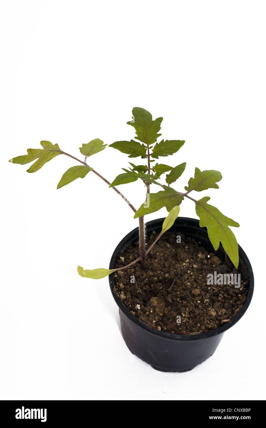 plant tomato isolated on white background - Stock Image
