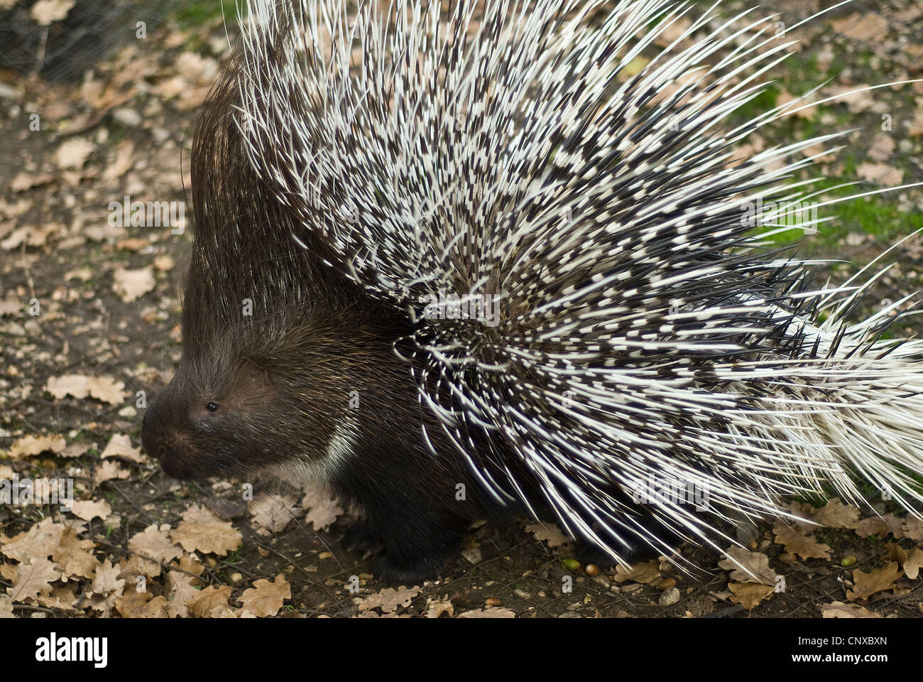 North African crested porcupine Hystrix cristata, Hystricidae, Mammalia. Nort Africa, Europe. - Stock Image