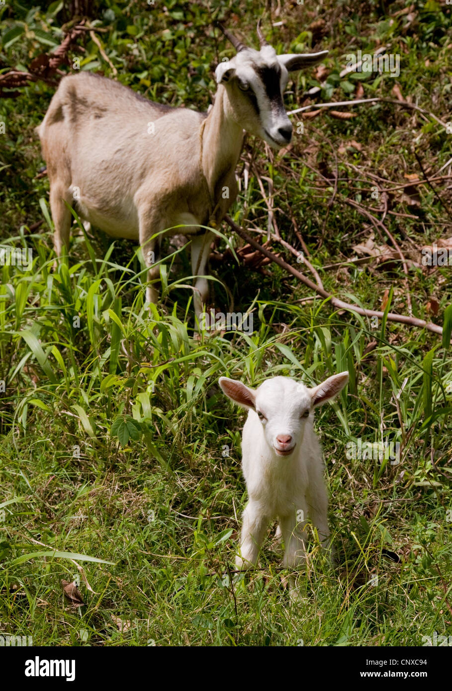 Nanny goat and her snow white kid Dominica - Stock Image