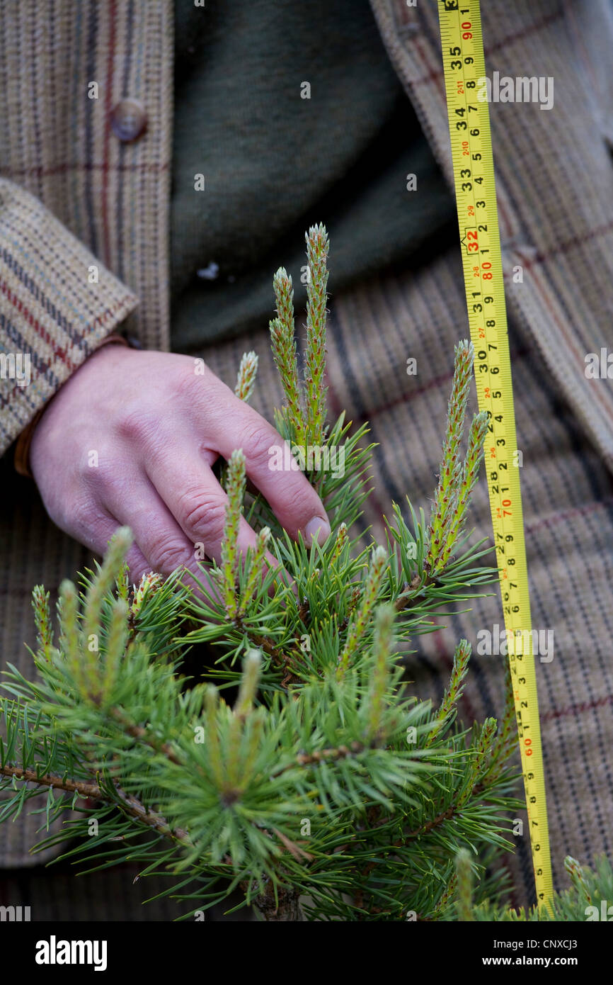 Scotch pine, scots pine (Pinus sylvestris), forester measuring and monitoring tree growth, United Kingdom, Scotland, - Stock Image