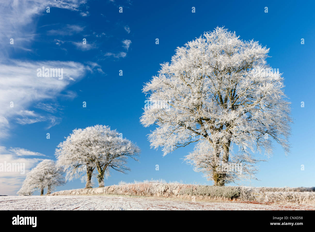 White hoar frosted trees on a cold winter morning, Bow, Devon, England. Winter (December) 2010. - Stock Image